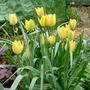 Tulipa linifolia 'Yellow Jewel' - 2018 (Tulipa linifolia)
