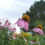 Purple Shine (Echinacea atrorubens (Topeka Purple Coneflower))