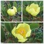 Paeonia mlokosewitschii (Paeonia mlokosewitschii (Golden Peony))