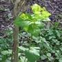 Smyrnium perfoliatum - 2018 (Smyrnium perfoliatum)