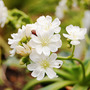 Lewisia (Lewisia cotyledon (read more here))