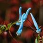 Corydalis flexuosa (Corydalis)
