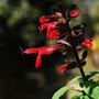 Salvia gesneriiflora (mountain form) (Salvia gesneriiflora)