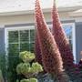 E.wildpretii in bloom. (Echium wildpretii)