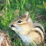 Garden_pic_chipmunk_eating_a_beetle