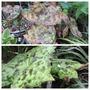 Podophyllum 'Spotty Dotty' (Podophyllum versipelle)