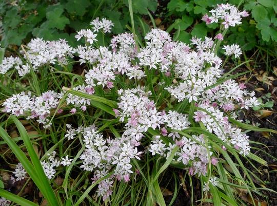 Allium 'Cameleon' - 2018 (Allium 'Chameleon')