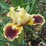 Dwarf Iris ' Jazzamatazz' (Iris pumila (Dwarf Flag))