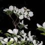 A garden flower photo (Kousa Dogwood)