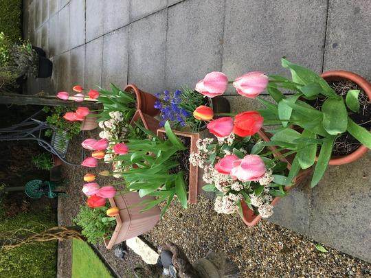 My £2 bag of tulips