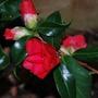 Camellia Night Rider... (Camellia williamsii.)