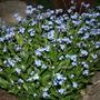 Garden_pic_forget_me_nots_in_spring