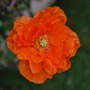 Never misses......Spanish Poppy... (Papaver rupifragum (Spanish Poppy))