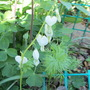 White Bleeding Heart (Lamprocapnos for my File) (Lamprocapnos spectablis)