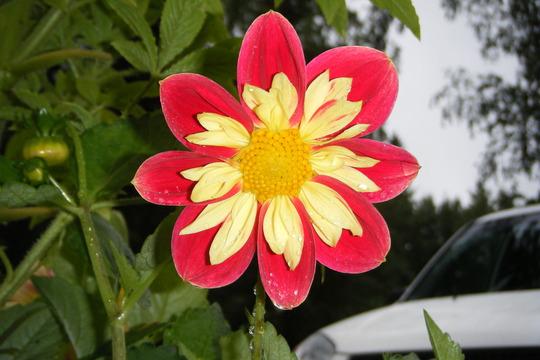 harlequin dahlia (Dahlia Pinnata (Dahlia))