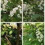 Prunus Padus (bird cherry)