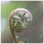 Frond unfurling  (Polystichum)
