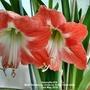Amaryllis #16 Both flowers up close on living room table 2nd May 2018 (Amaryllis)