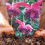 Fuchsia 'John Grooms' on balcony (Label) 1st May 2018 (Fuchsia)