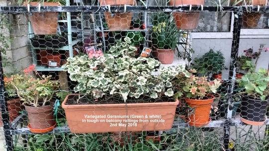 Variegated Geranium (Pelargonium zonal)