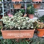 Variegated_geraniums_green_white_in_tough_on_balcony_railings_from_outside_2nd_may_2018