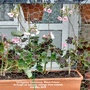 Variegated_geraniums_black_prince_in_tough_on_balcony_railings_from_outside_2nd_may_2018