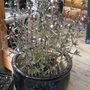 Savory (Satureja hortensis (Ajedrea))