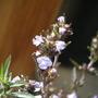 savory blooms (Satureja hortensis (Ajedrea))