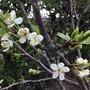 Greengage Blossom (Prunus domestica italica)