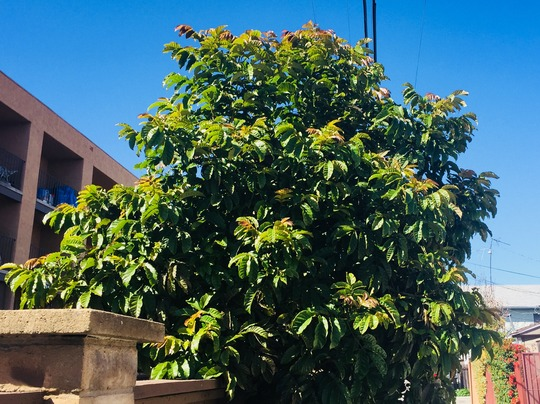 Markhamia lutea - Nile Trumpet Tree (Markhamia lutea - Nile Trumpet Tree)