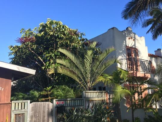 Umbrella Tree (Schefflera actinophylla), Triangle Palm (Dypsis decaryi) (Umbrella Tree (Schefflera actinophylla), Triangle Palm (Dypsis decaryi))