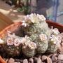 Small flowering cactus - Mammillaria giselae