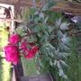 image Tree Peony