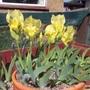 Iris schactii (Iris schactii)