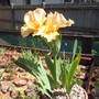 Iris pumila 'Tickled Peach' (Iris pumila (Dwarf Flag))