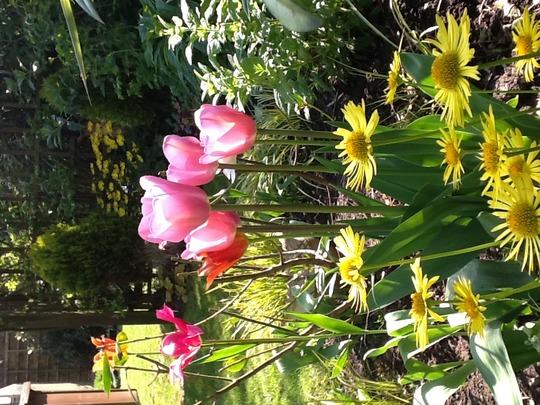Tulips with Doronicum (Doronicum orientale (Leopard's bane))
