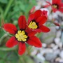 Sparaxis.... (Sparaxis tricolor (Harlequin Flower))