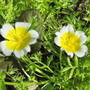 Limnanthes douglasii..Poached Egg Plant