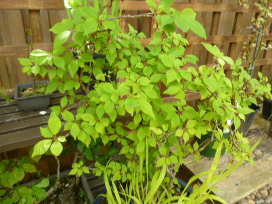 Prunus kojo-no-mai