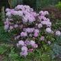 Rhododendron yakushimanum - 2018 (Rhododendron yakushimanum)