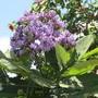 Wigandia bloom. (Wigandia)