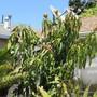 Mango still chugging away in a cool spring. (Mangifera indica (Mango))