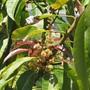 MANGO blooms (Mangifera indica (Mango))