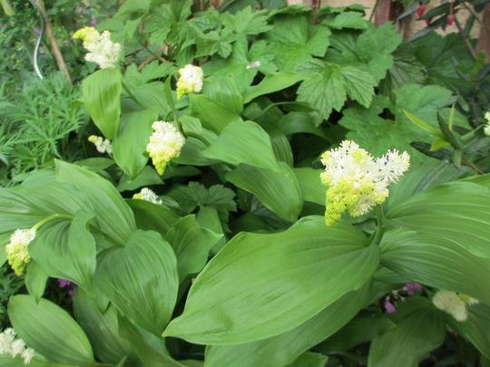 Maianthemum racemosum (Maianthemum racemosum)