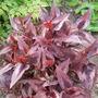 Persicaria Red Dragon