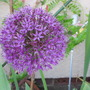 Allium 'Purple Sensation' (Allium hollandicum (Ornamental onion))