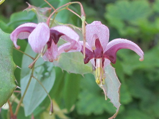 Epimedium 'Kagumahime' flowers (For my File) (Epimedium x)