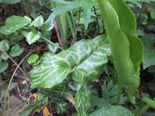 Arum italicum leaves (For my File) (Arum italicum pictum)