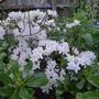 Rhododendron 'Ptarmigan' - 2018 (Rhododendron 'Ptarmigan')