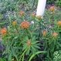Euphorbia griffithii 'Fireglow' - 2018 (Euphorbia griffithii 'Fireglow')